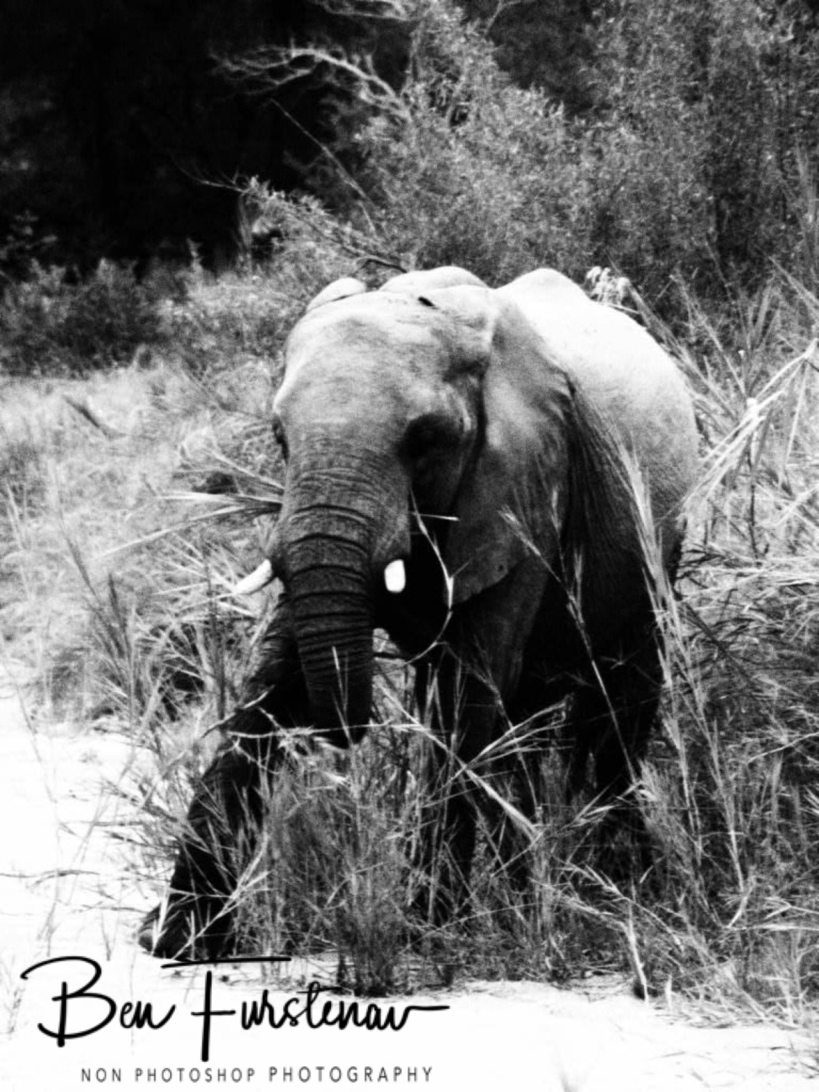Elephant in elephant grass, Kruger National Park