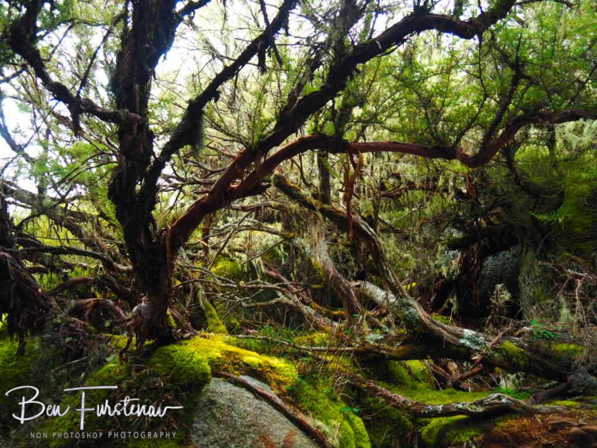 Fascinating mossy alpine forrest, Mulanje Mountains, Malawi