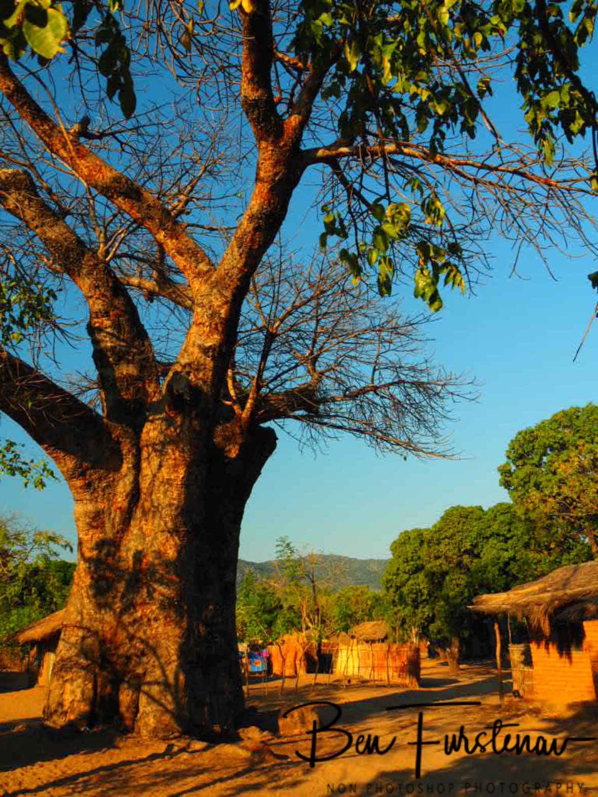 Baobab in middle of Chembe village, Cape Maclear, Lake Malawi, Malawi
