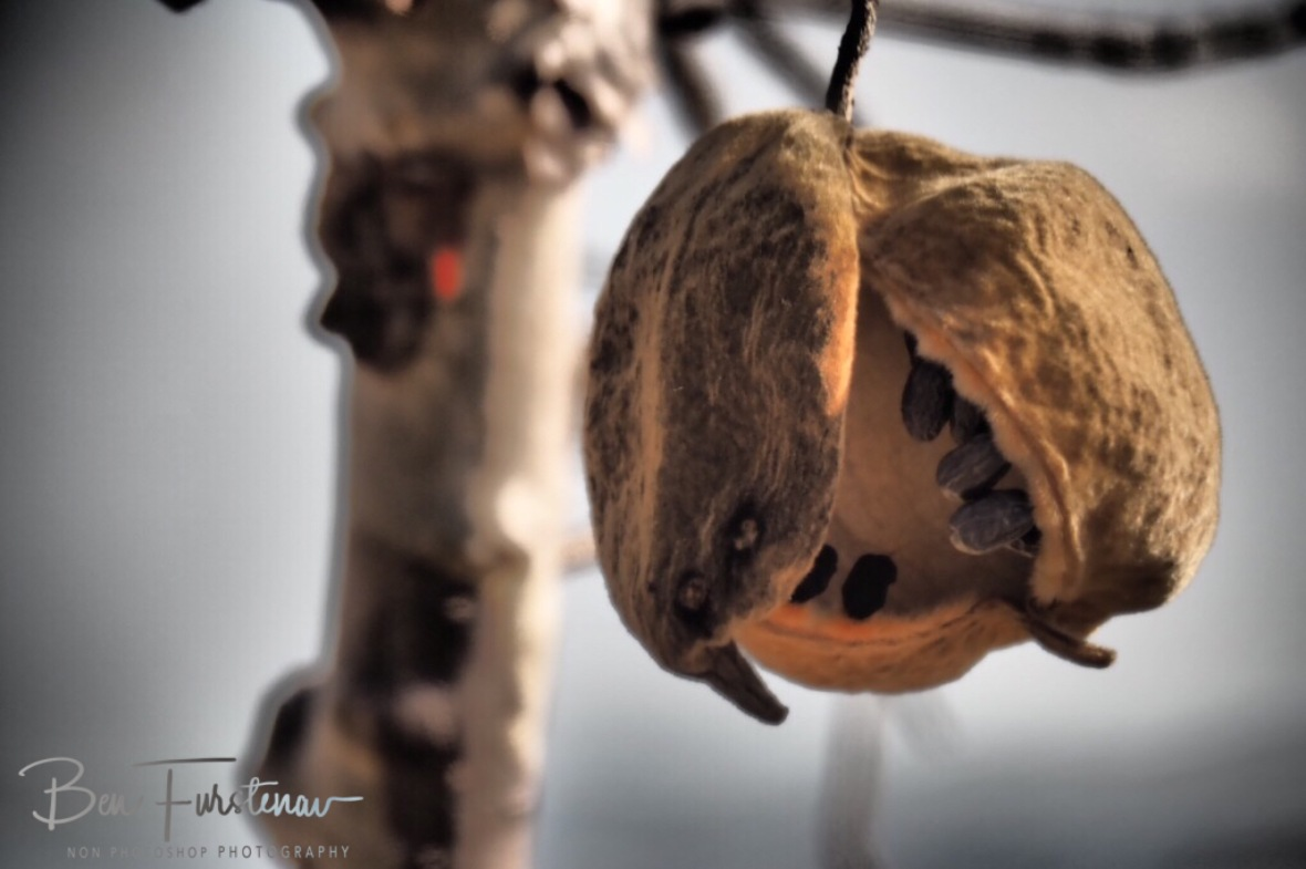 Baobab fruit close up, Mwanza Region, Malawi