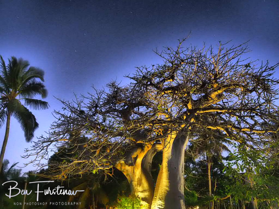 Baobab and Palm tress at dusk, Vilankulo, Mozambique