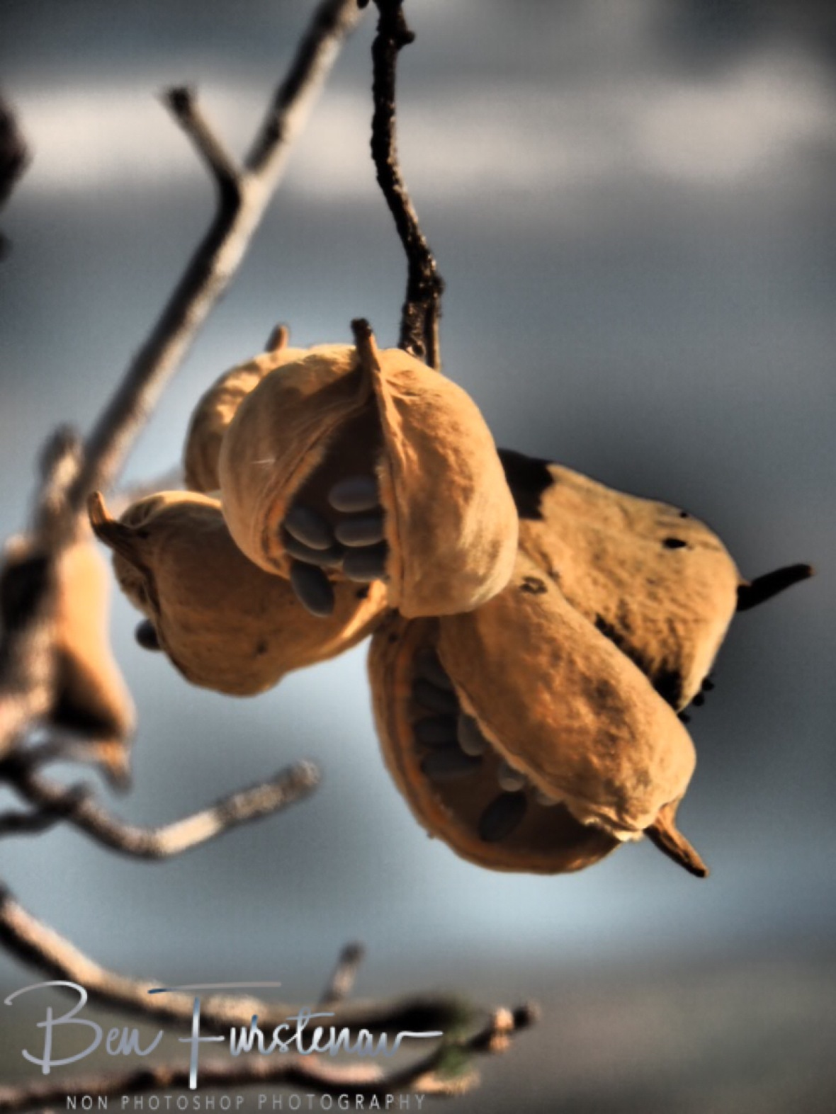 Baobab fruit loosing their teeth?, Mwanza Region, Malawi