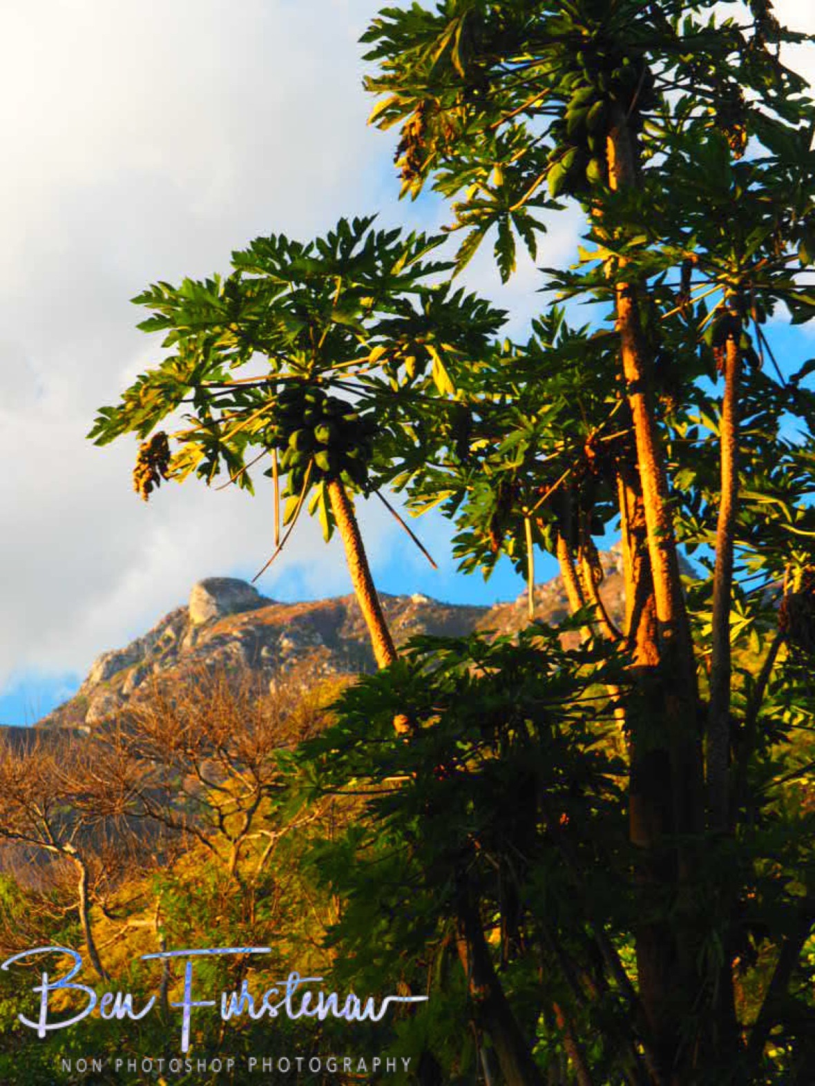 Papaya trees at Mulanje Mountains, Malawi