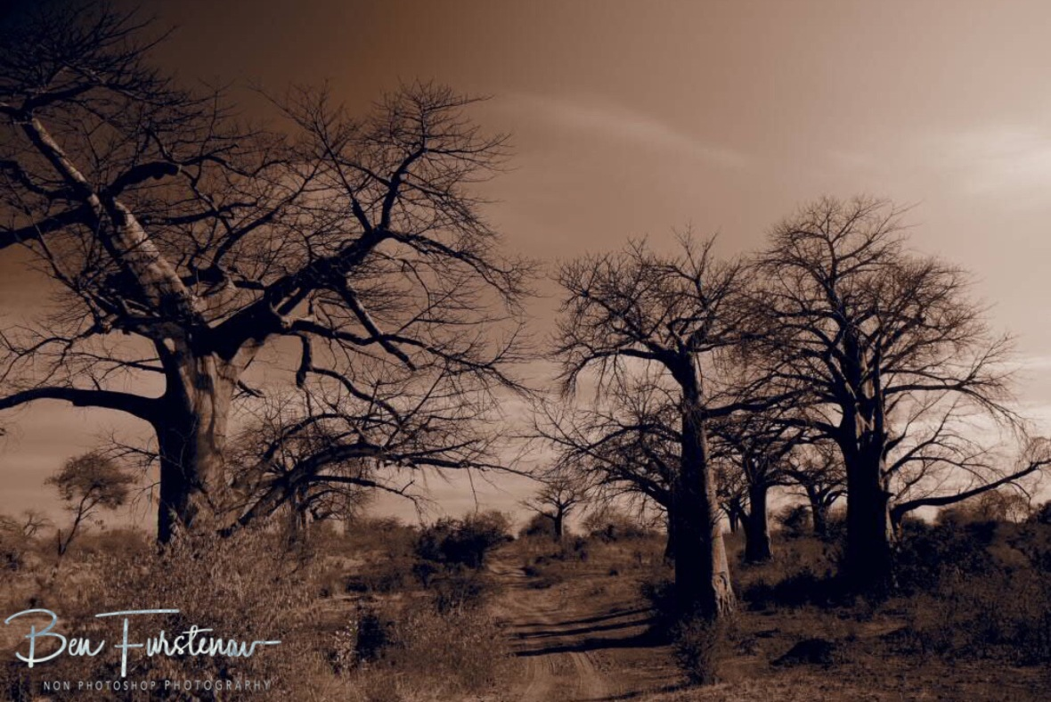 Tranquil 'Alleé de Baobab', Tete, Mozambique