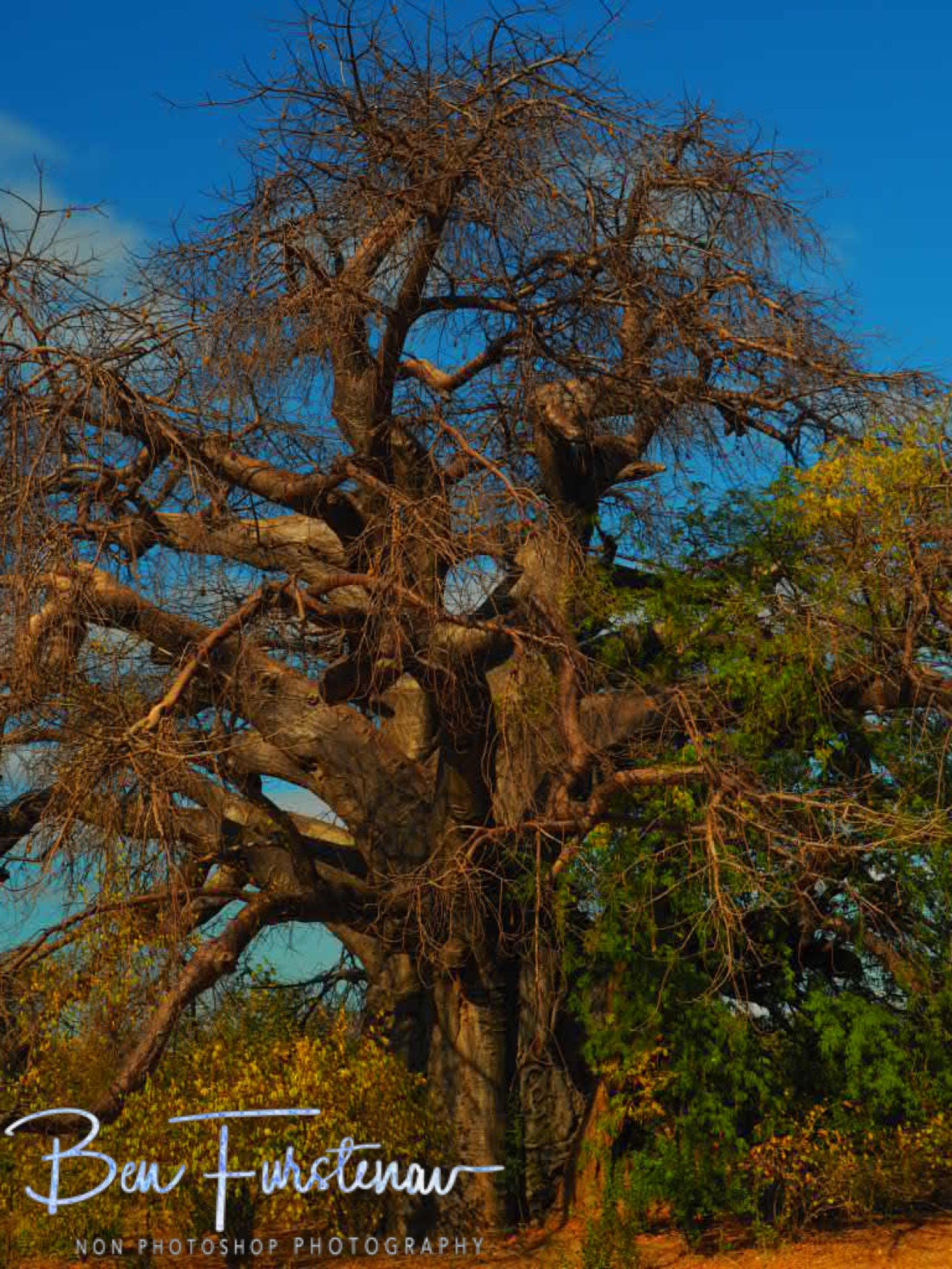 A truly old giant, Tete, Mozambique