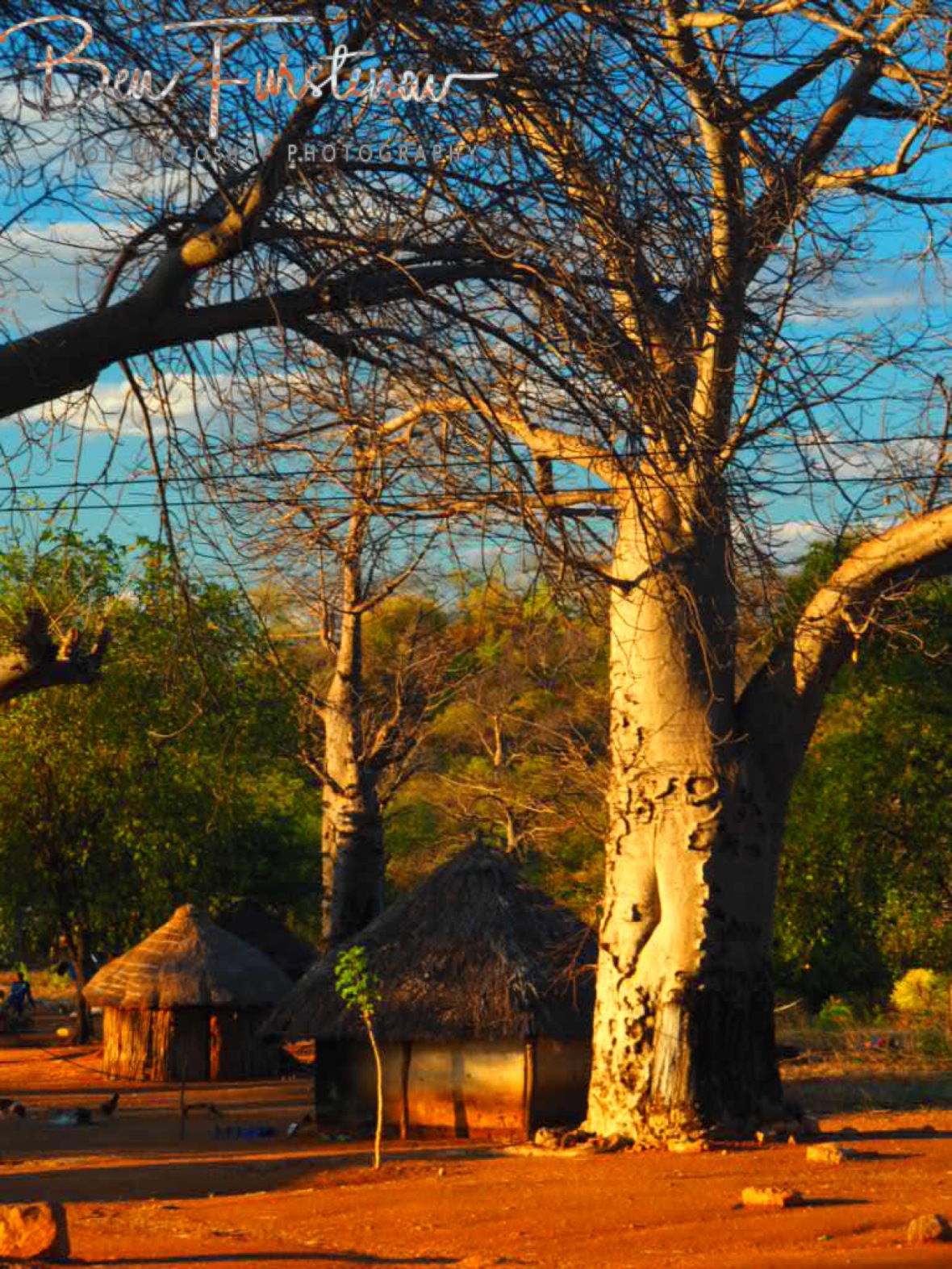 Living along alien trees, Tete, Mozambique