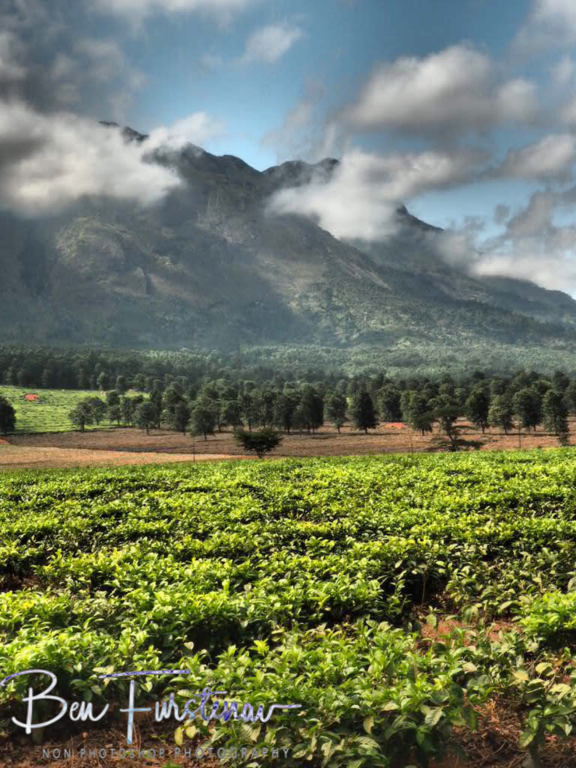 Tea plantations compliment Mulanje Mountains, Malawi
