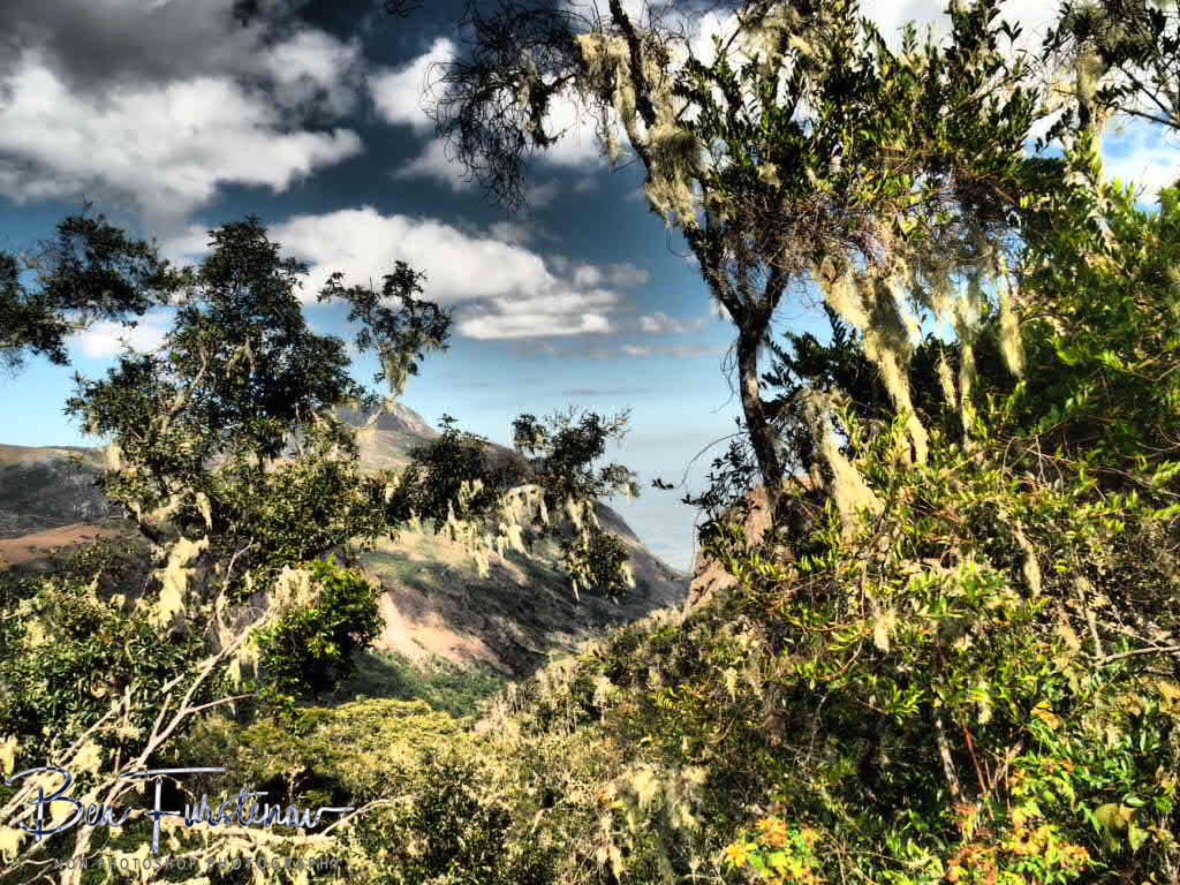 Moss covered trees high above, Mulanje Mountains, Malawi