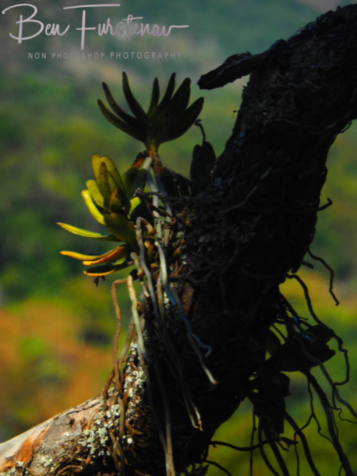 Life grows anywhere at Mulanje Mountains, Malawi