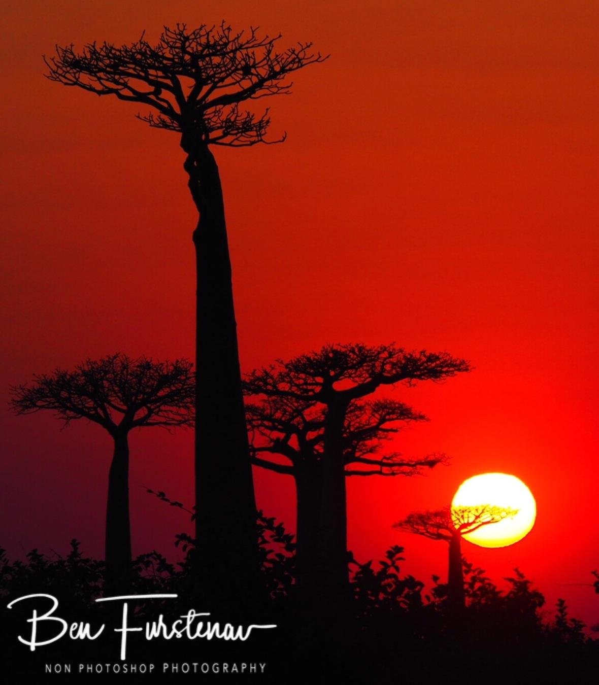 Spectacular sunrise at 'Alleé de Baobab', Morondava, Madagascar