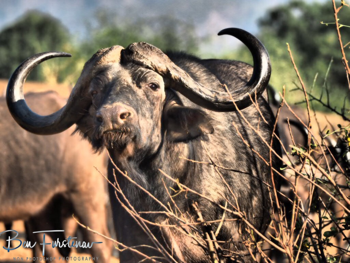 Sad looking buffalo, Lower Zambezi National Park, Zambia
