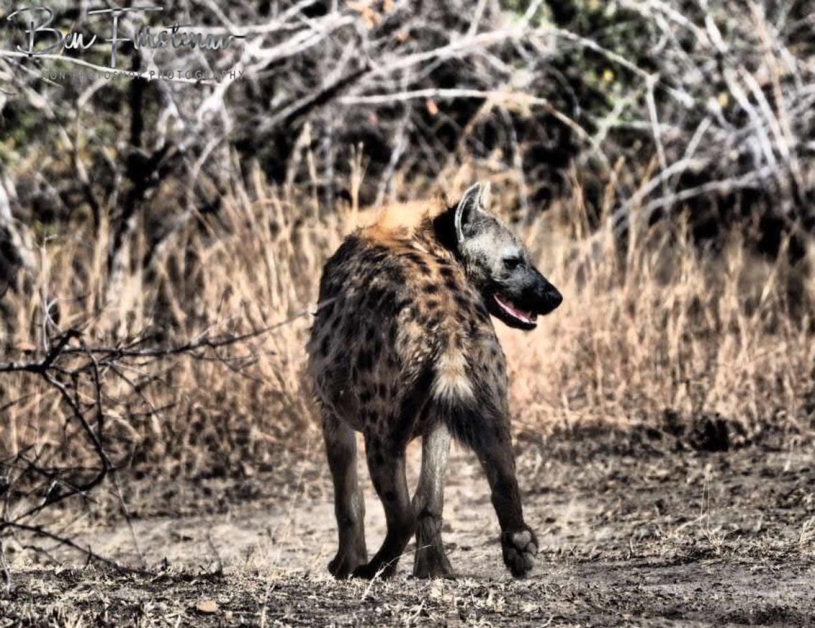 Laughing Spotted hyena, South Luangwa National Park, Zambia