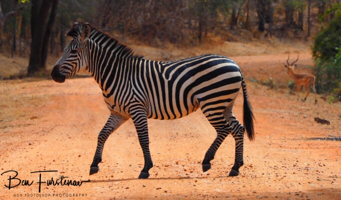 Zebra crossing in South Luangwa National Park, Zambia