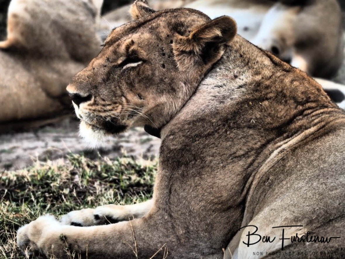 Tired, hungry face, South Luangwa National Park, Zambia