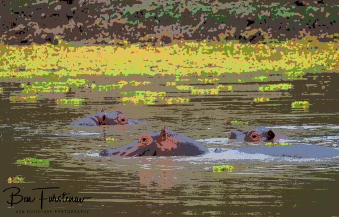 Happy hippo pool, South Luangwa National Park, Zambia