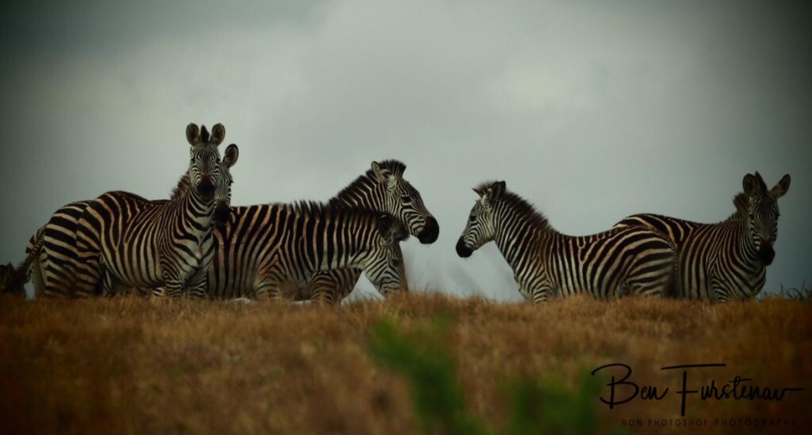 Suspicious zebras, Nyika National Park, Malawi