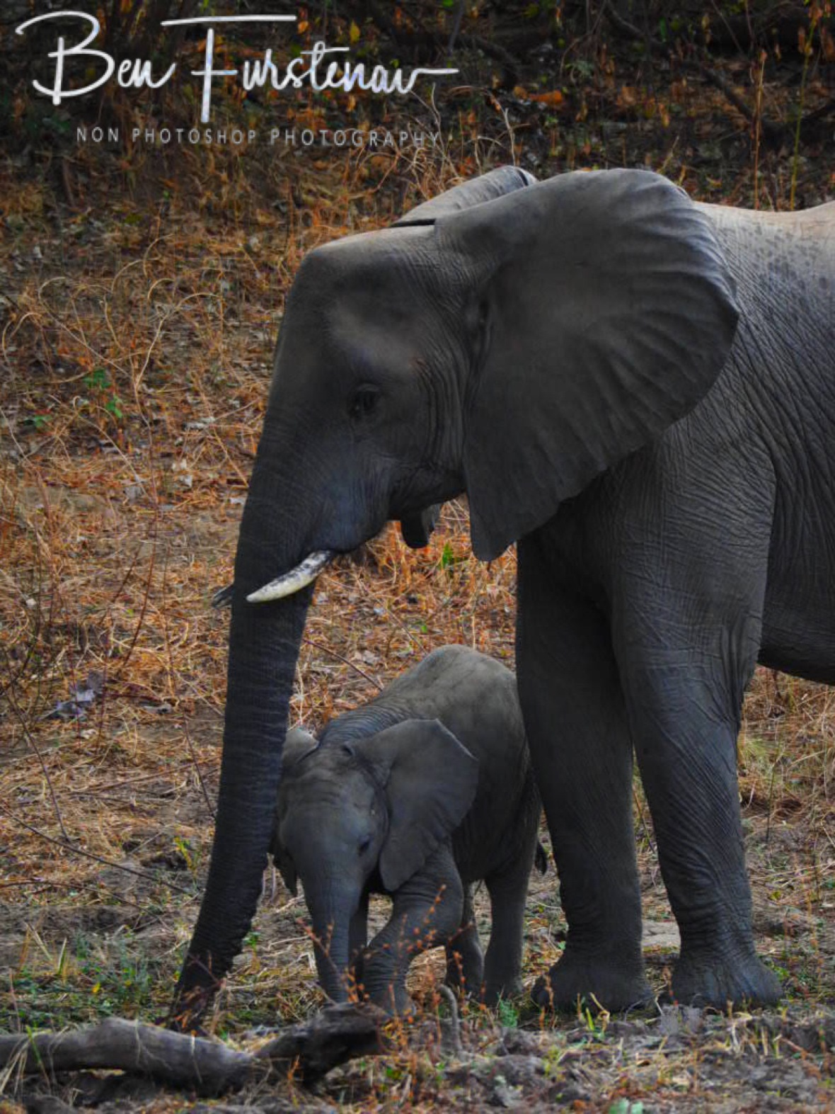 Elephant calf and Aunty, South Luangwa National Park, Zambia