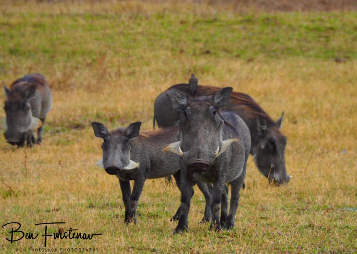 Warting on what's happening, South Luangwa National Park, Zambia