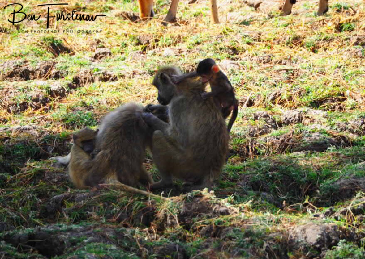 Mom is unfaced whilst youngsters are up to mischief, South Luangwa National Park, Zambia