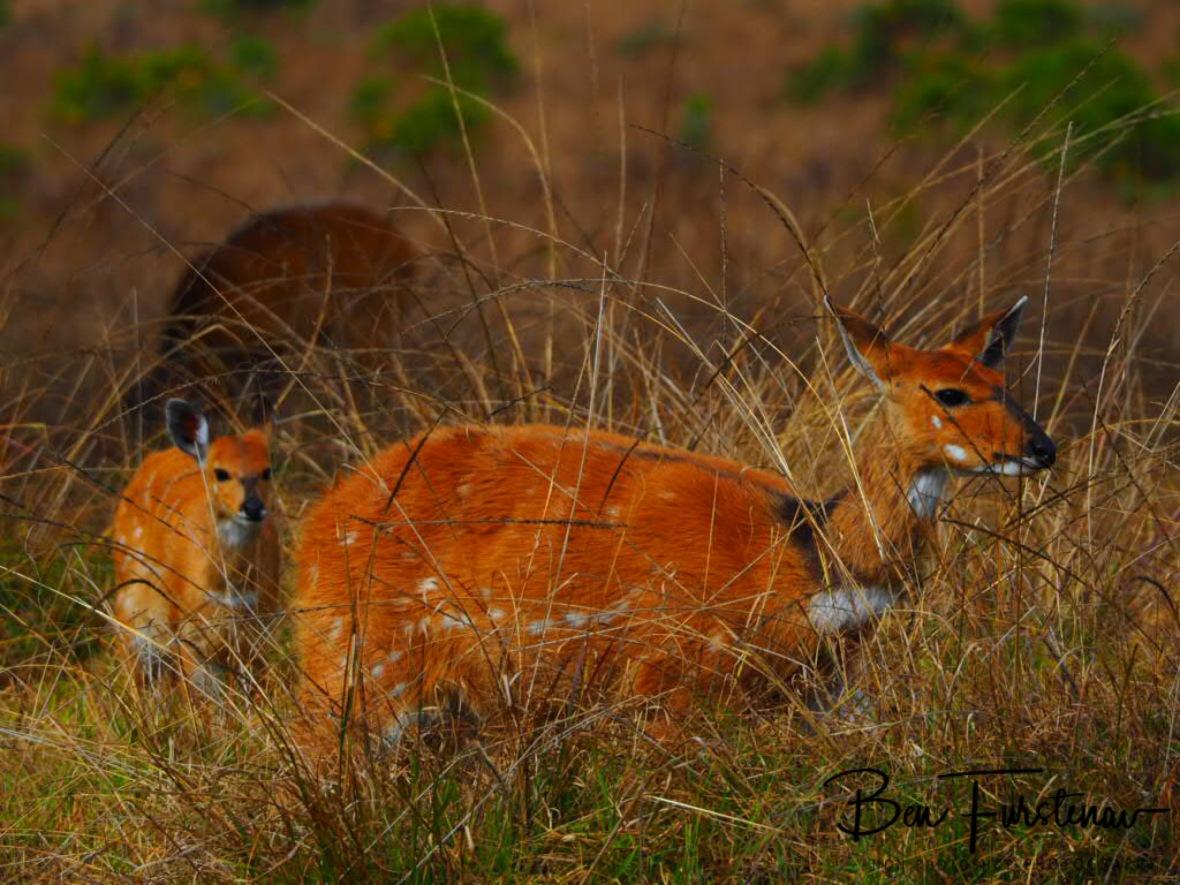 Bushbuck stalking through high grass, Nyika National Park, Malawi