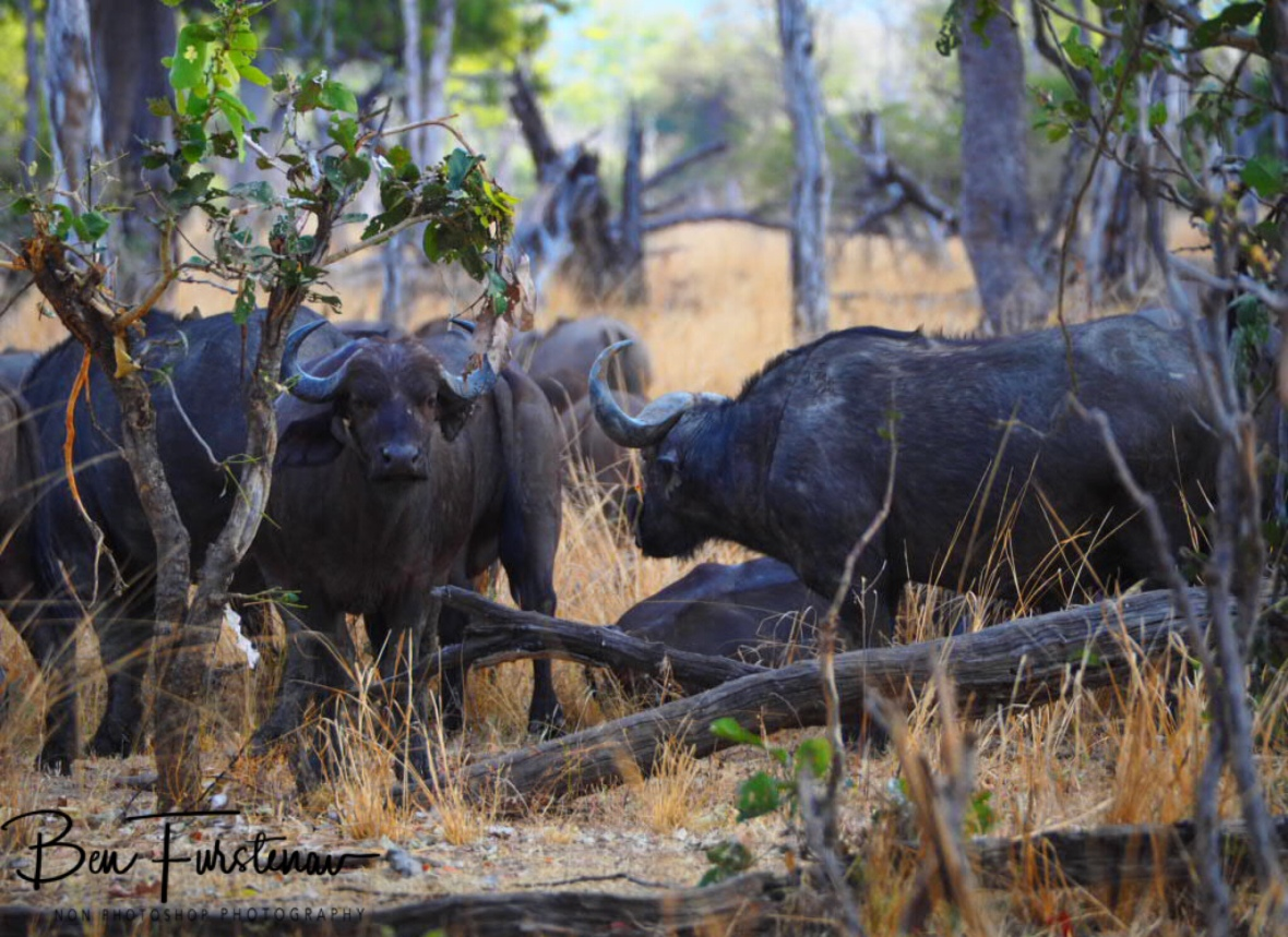 A 'small' herd off buffalo in South Luangwa National Park, Zambia
