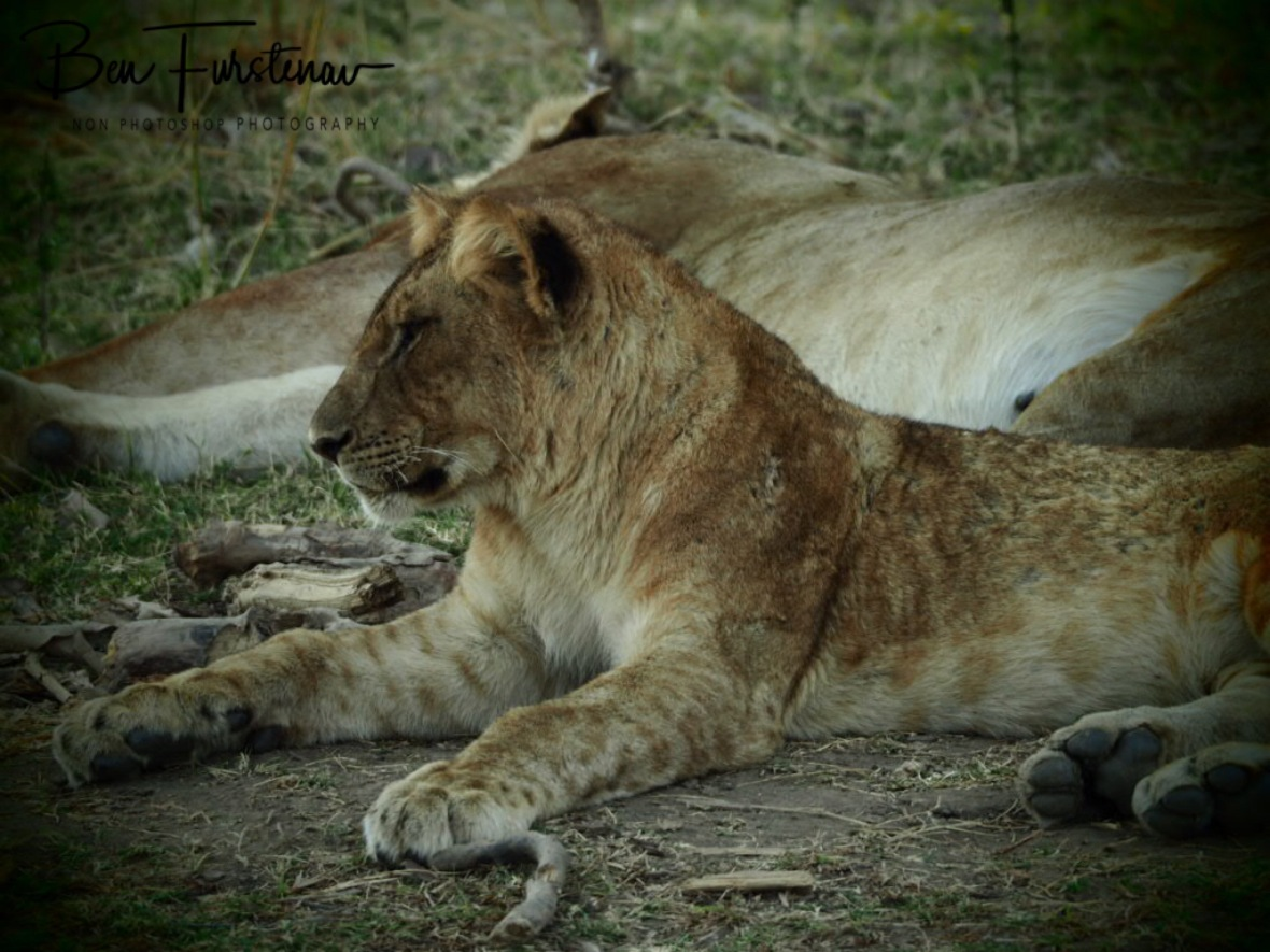 Lion cub is aware while mom is resting, South Luangwa National Park, Zambia