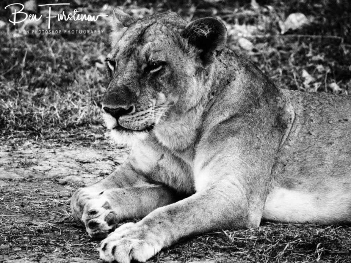 Keeping a watchful eye, South Luangwa National Park, Zambia