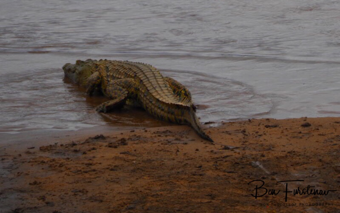 Large Nile crocodile sliding in to the river, South Luangwa National Park, Zambia