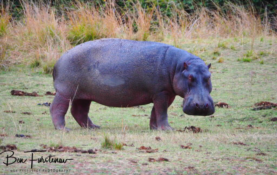 Surprisingly blue/purple skin on this grazing hippo, South Luangwa National Park, Zambia