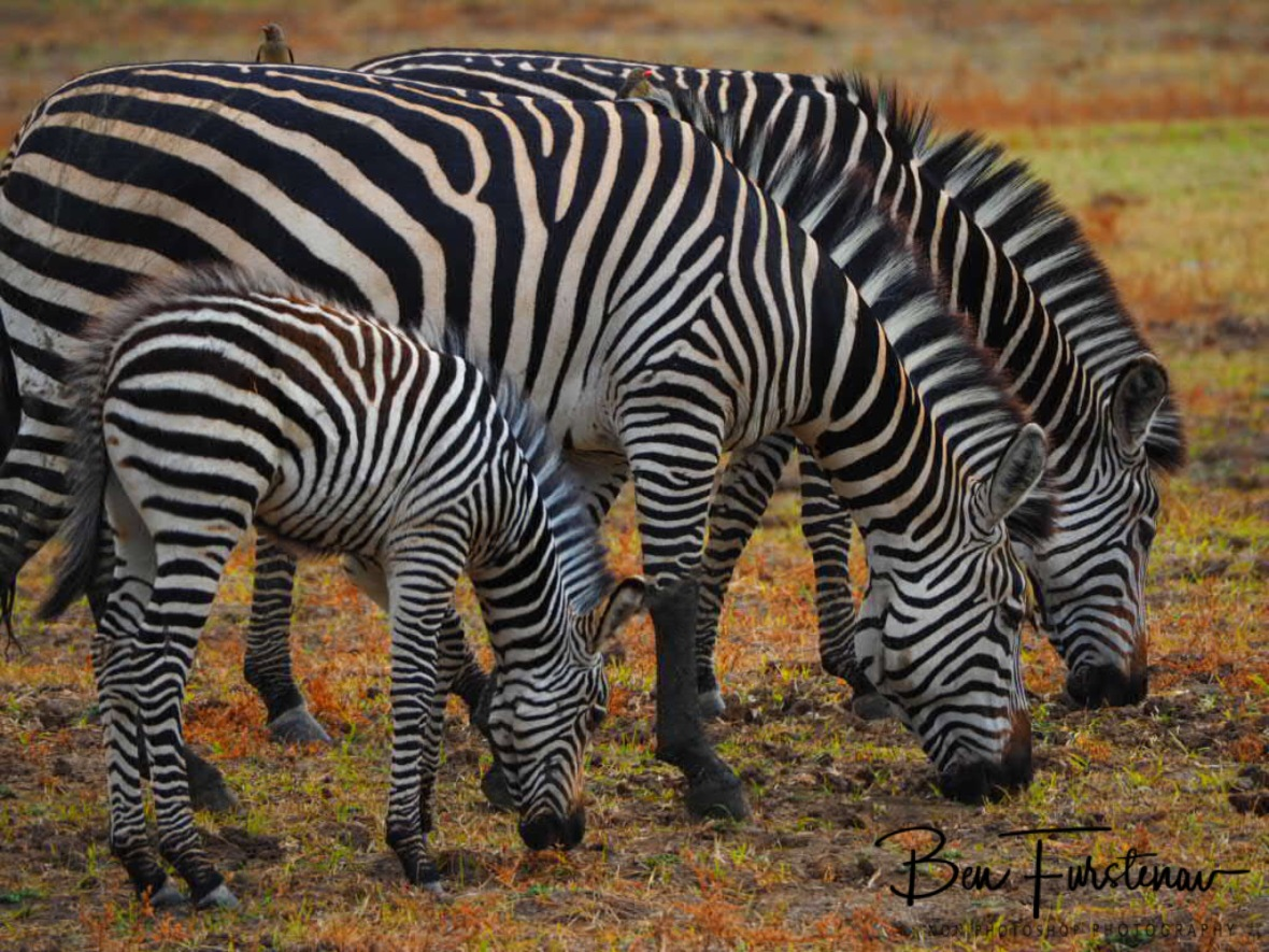 Synchronised grazing, South Luangwa National Park, Zambia