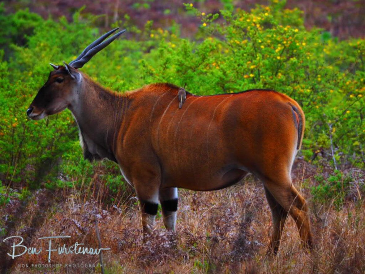 Africa's largest Antilope, the Eland at Nyika National Park, Malawi