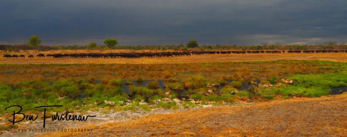 A huge herd off buffalo, South Luangwa National Park, Zambia