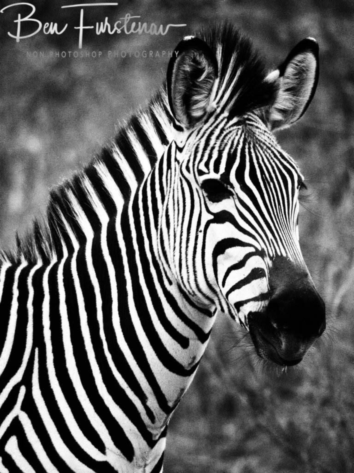 Striking patterns of a zebra in South Luangwa National Park, Zambia