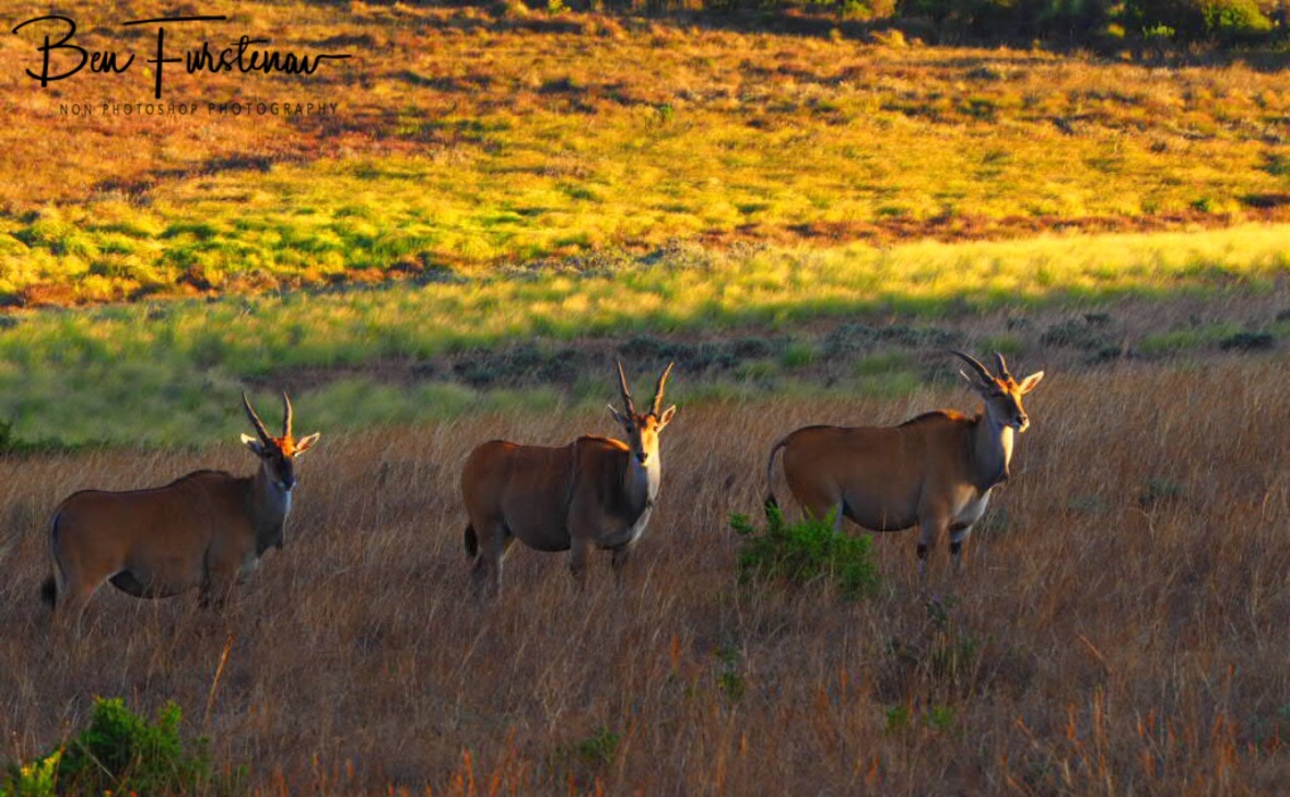 Still anxious Eland, Nyika National Park, Malawi
