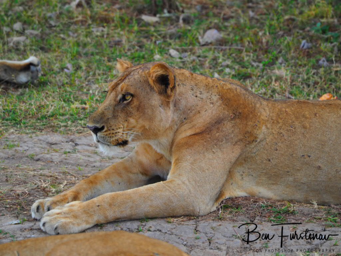 Ready to pounce, South Luangwa National Park