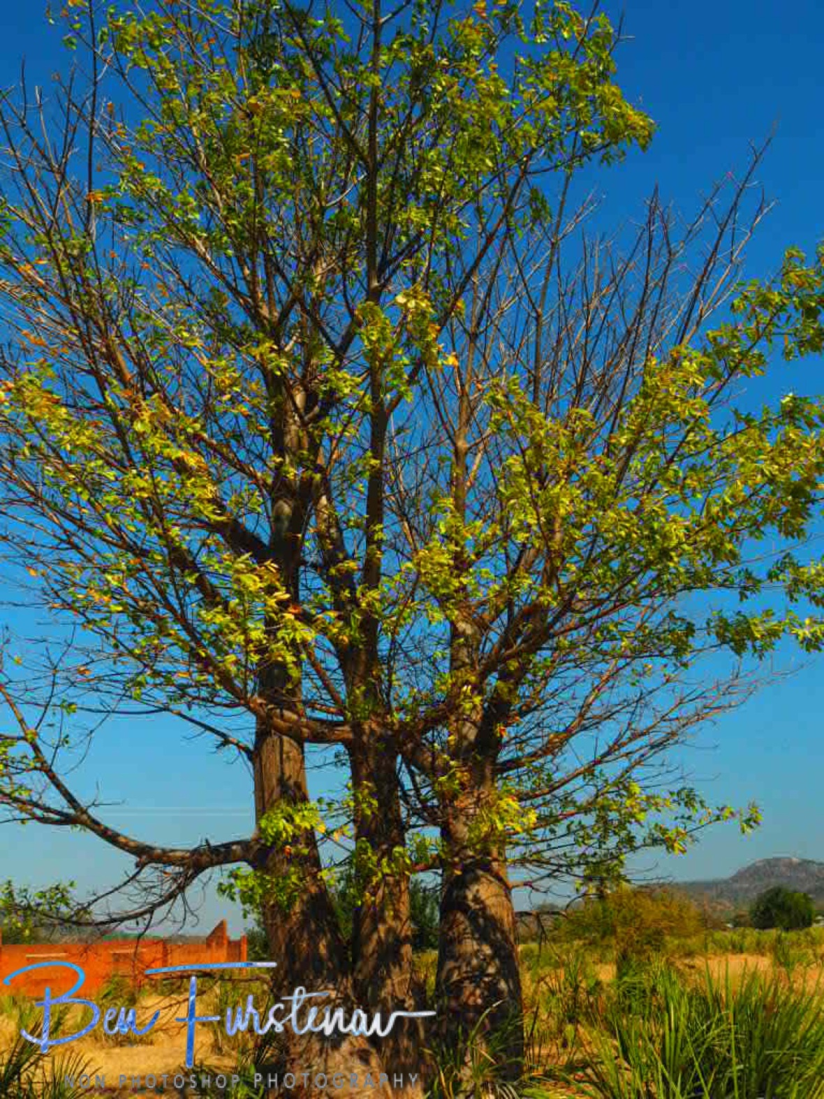 Baobab in spring time?, Monkey Bay, Lake Malawi, Malawi