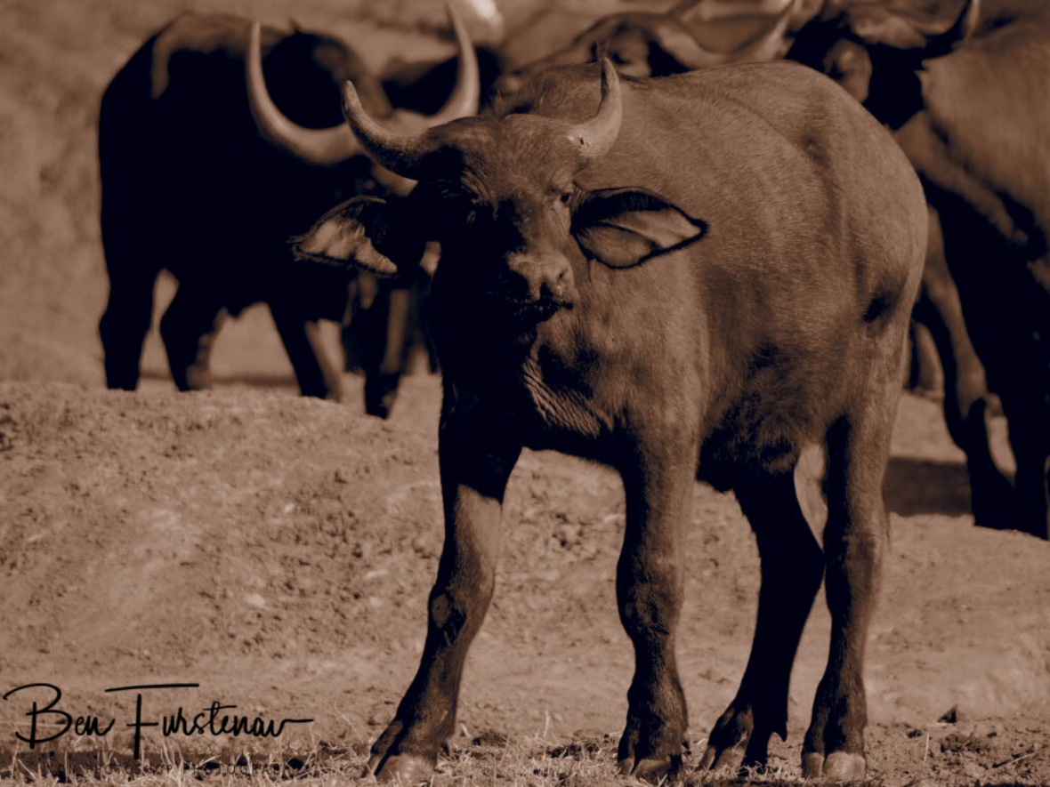 Coragious young buffalo, Lower Zambezi National Park, Zambia