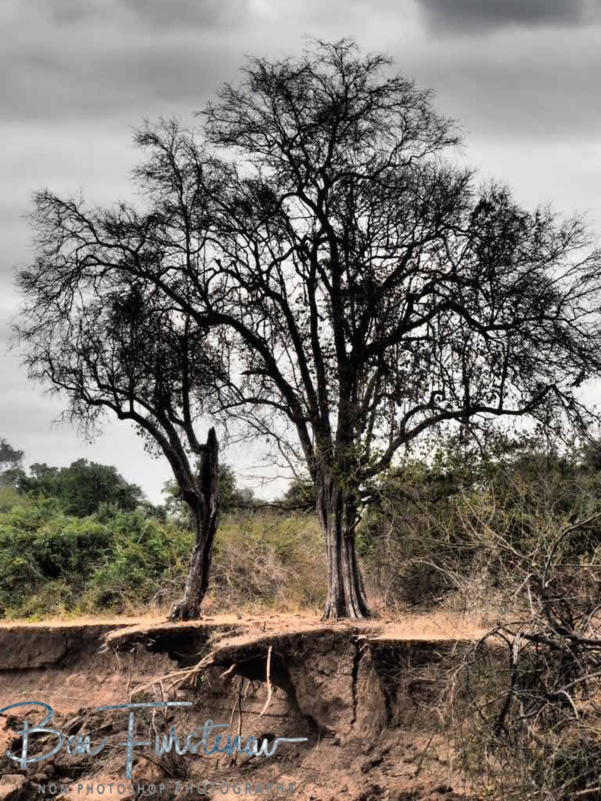 Still standing on the edge, South Luangwa National Park, Zambia