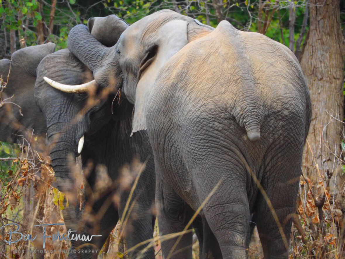 More serious action, South Luangwa National Park, Zambia