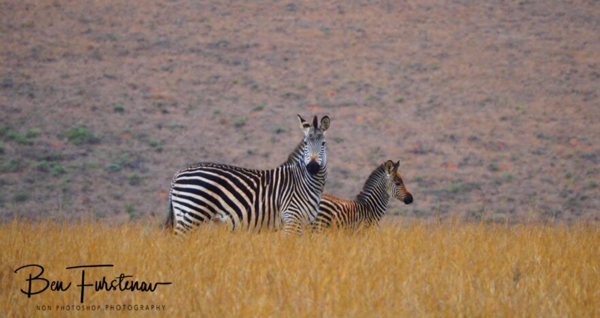Zebra mom and fowl, Nyika National Park, Malawi
