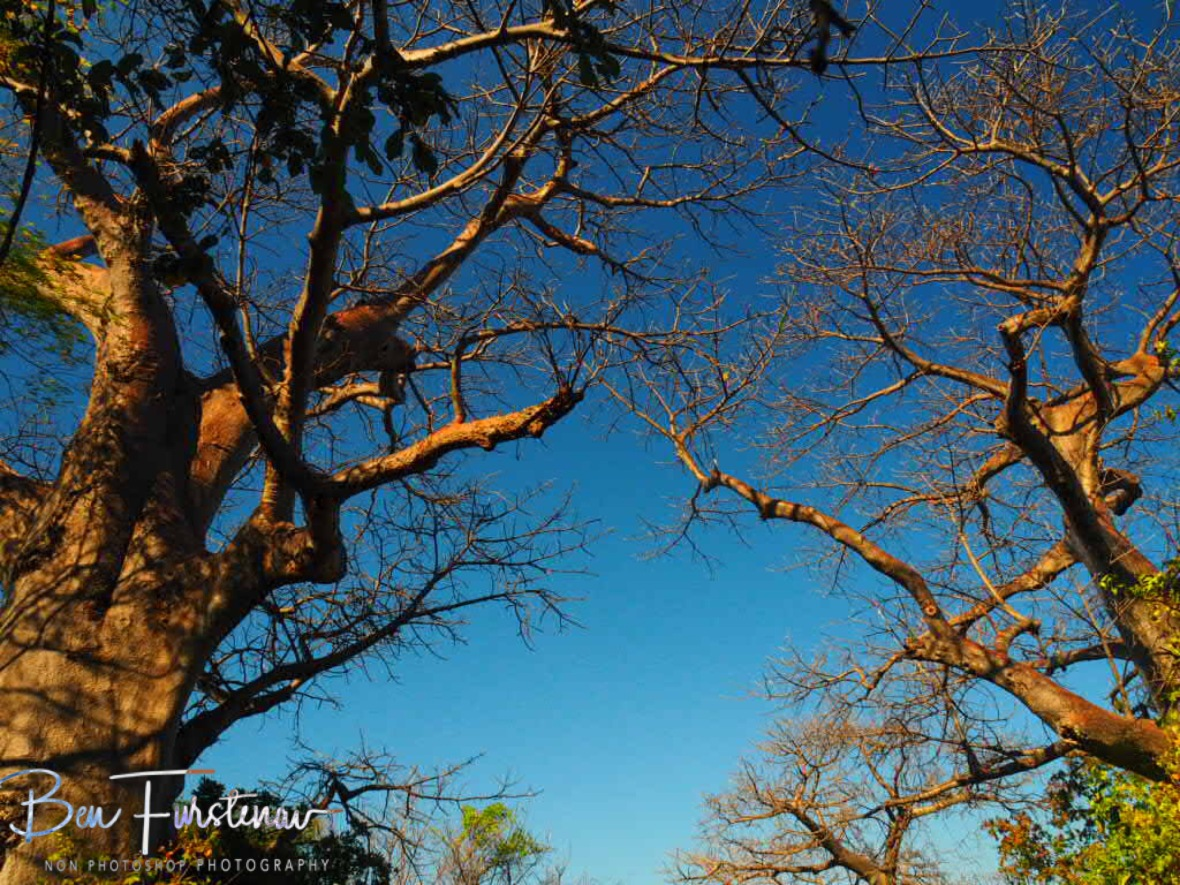 Baobab trees reaching for the skies at Monkey Bay, Lake Malawi, Malawi
