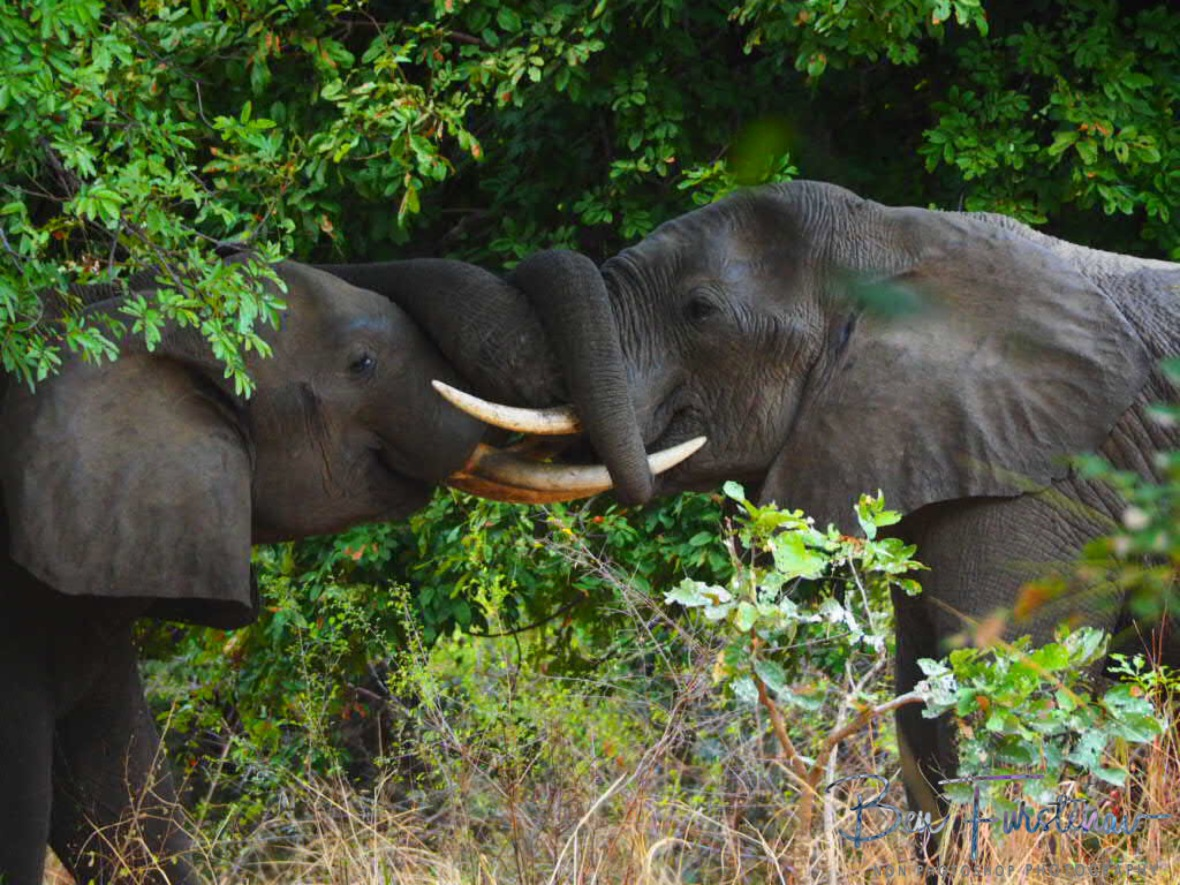 Trunk wrestling in South Luangwa National Park, Zambia
