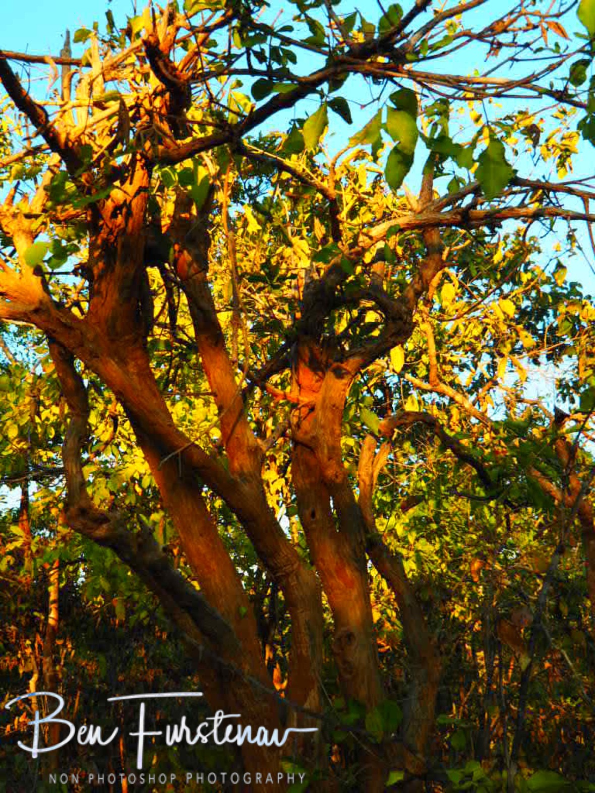 Colourful tree display, Vwaza Marsh National Reserve, Malawi