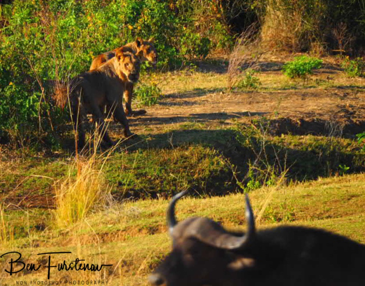Lions in ambush moments before the kill, Lower Zambezi National Park, Zambia