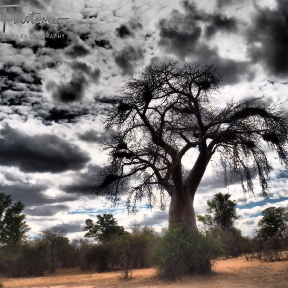 Baobab country in South Luangwa National Park, Zambia
