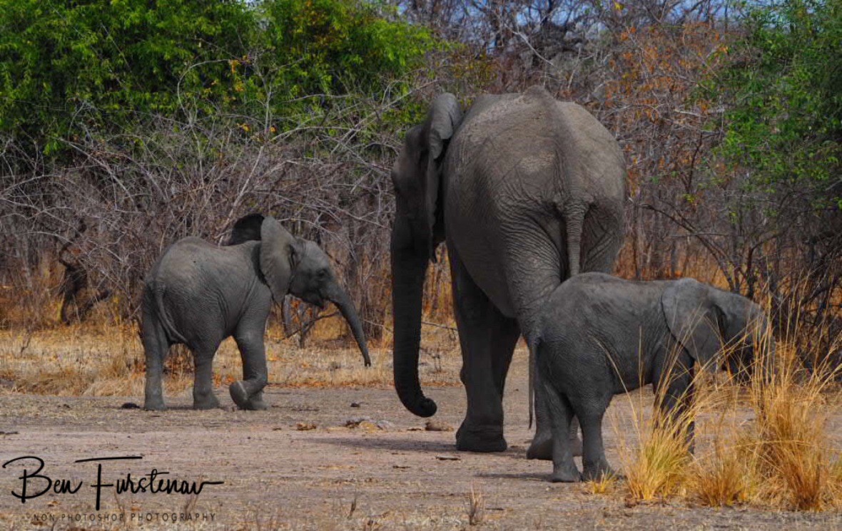 Happy elephant family in South Luangwa National Park, Zambia