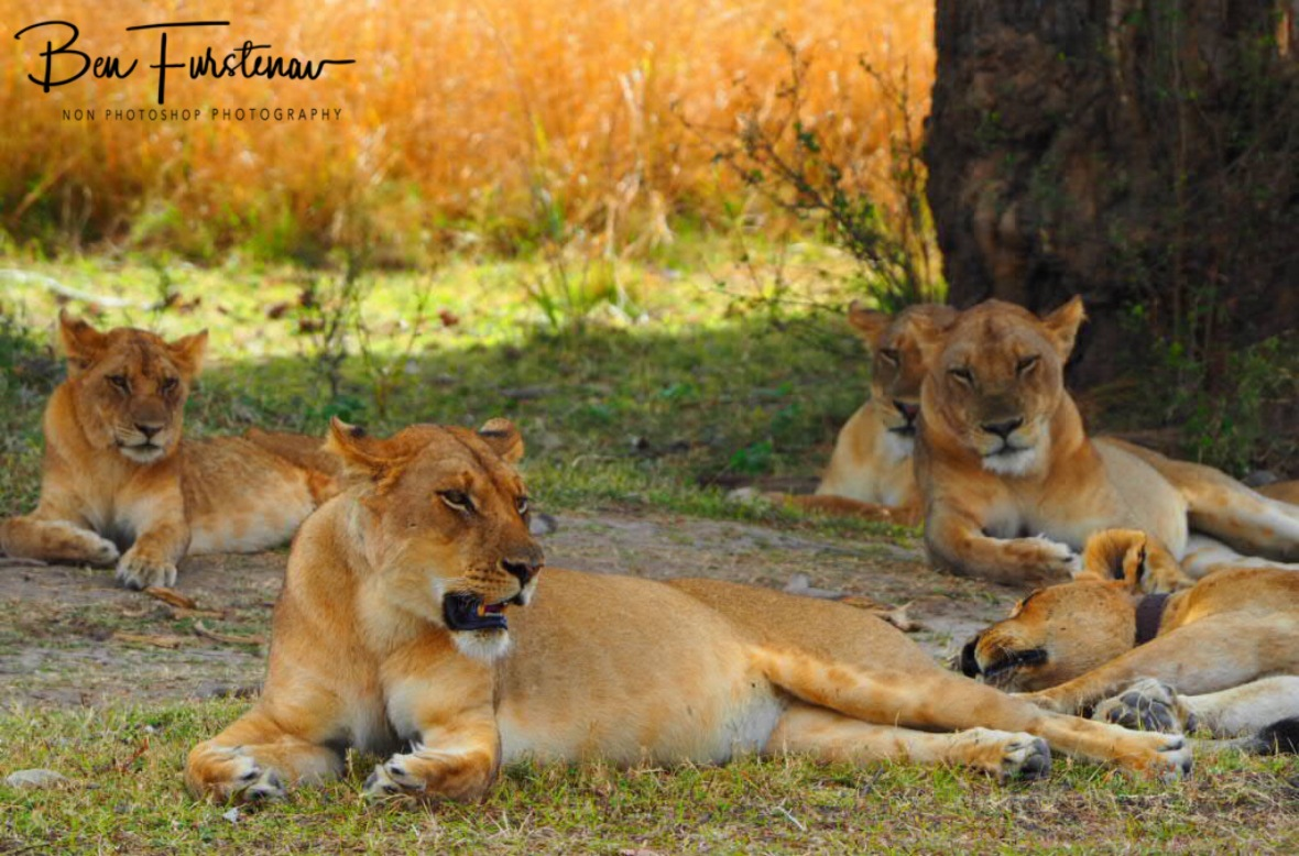Pride and rest, South Luangwa National Park, Zambia