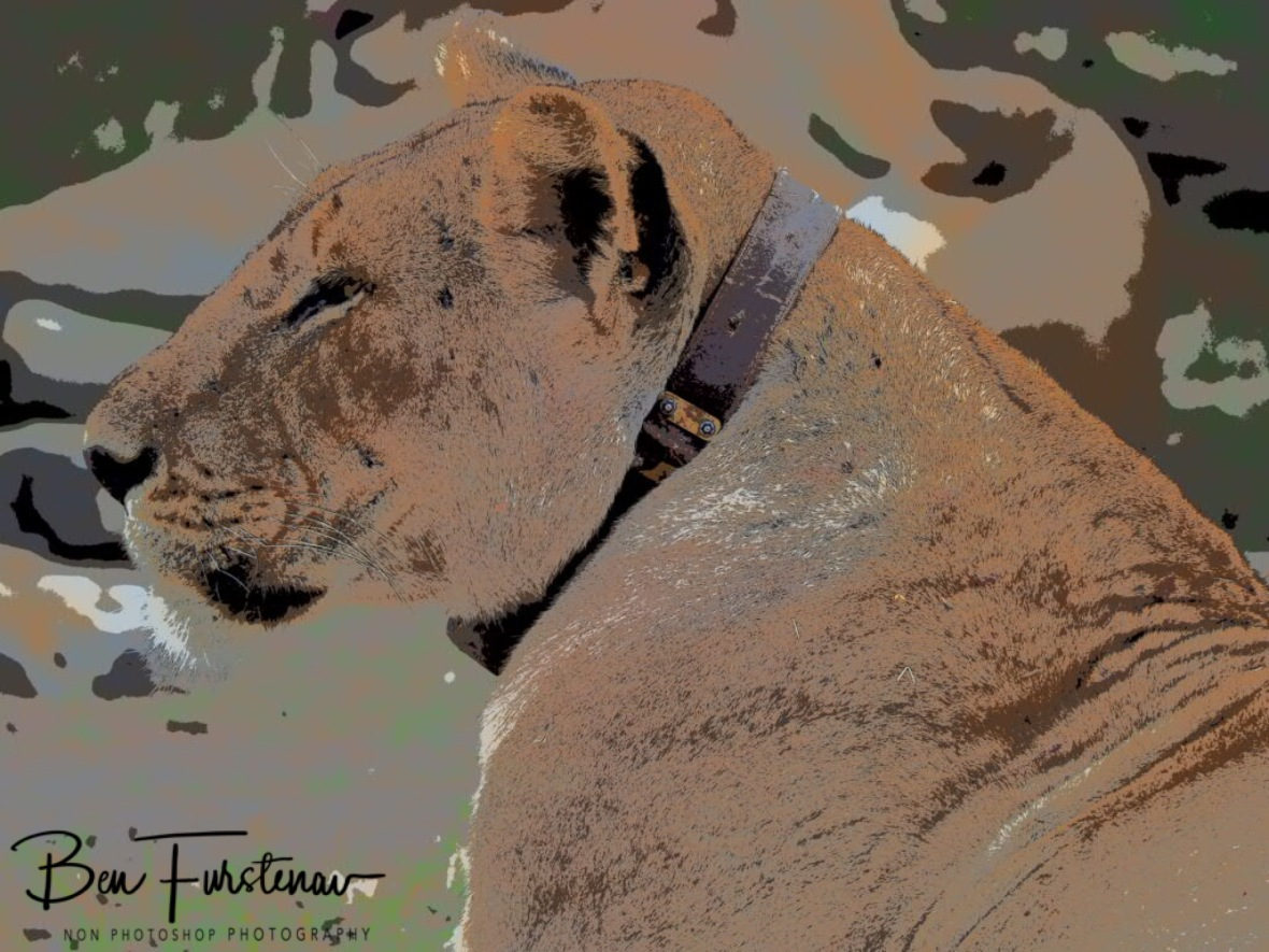Satellite collar around lioness neck, South Luangwa National Park, Zambia