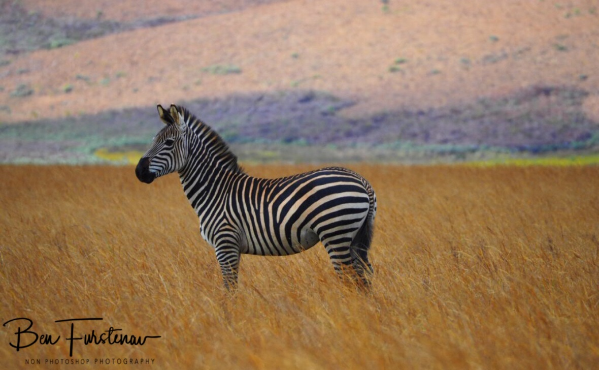 From one zebra to another, Nyika National Park, Malawi
