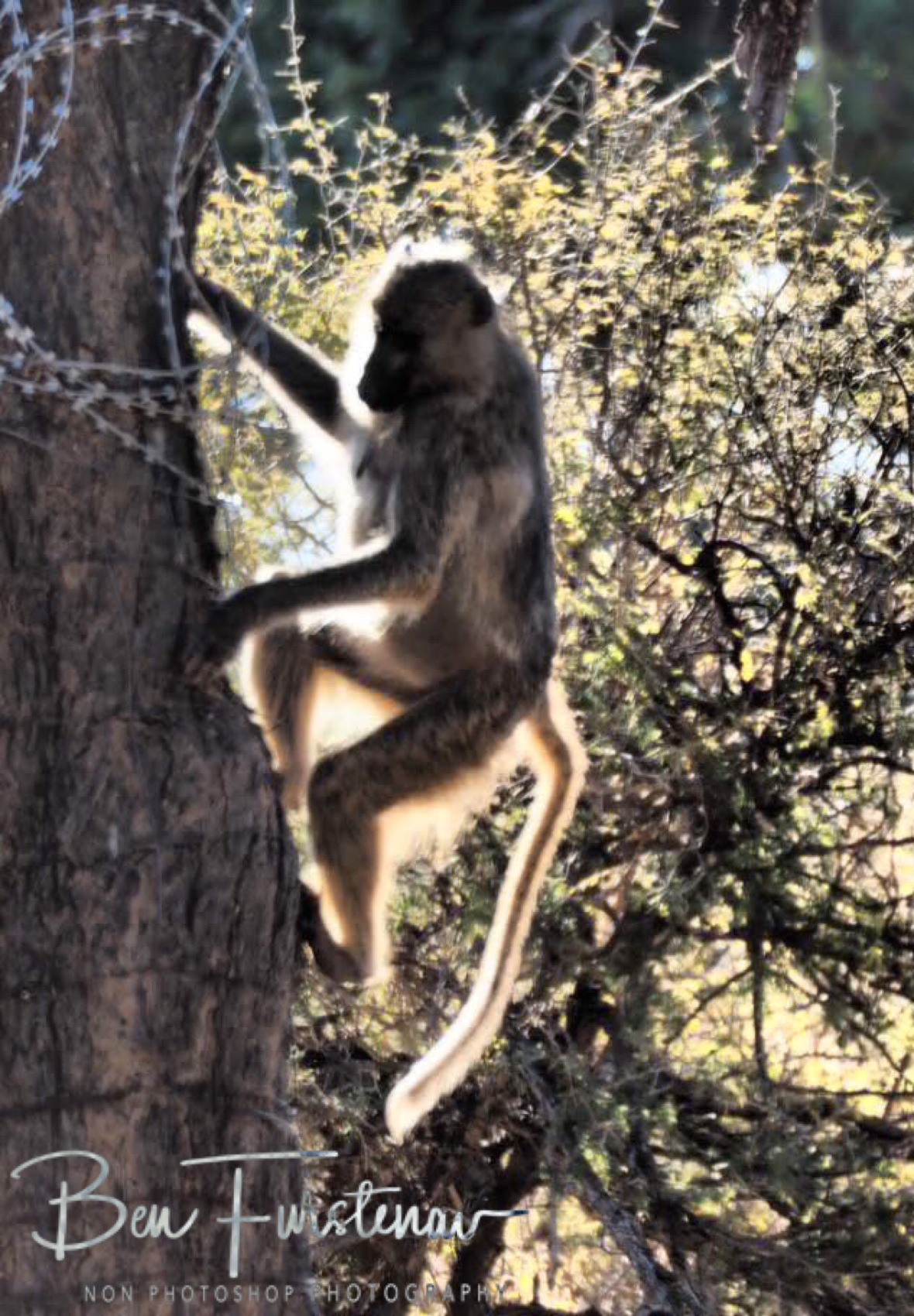 Baboons dodge the high wire, Lower Zambezi Valley, Zambia